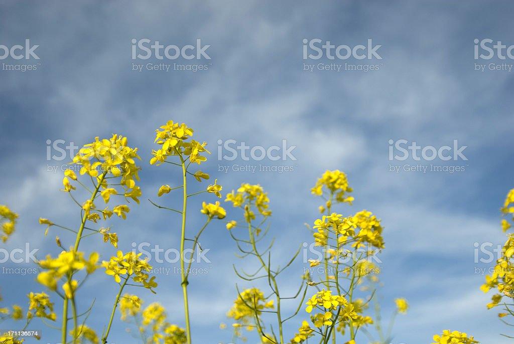 Mustard Flowers royalty-free stock photo