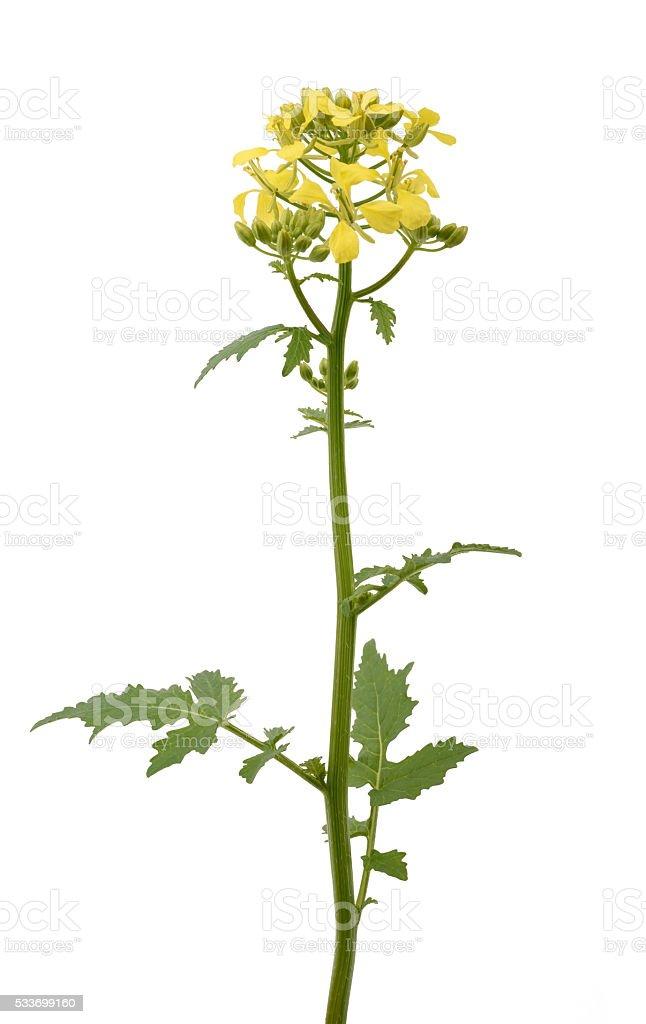 Mustard flowers stock photo