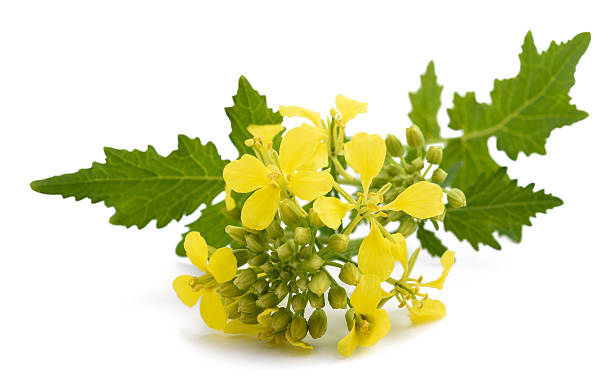 Mustard flowers Mustard flowers isolated on white background brassica rapa stock pictures, royalty-free photos & images