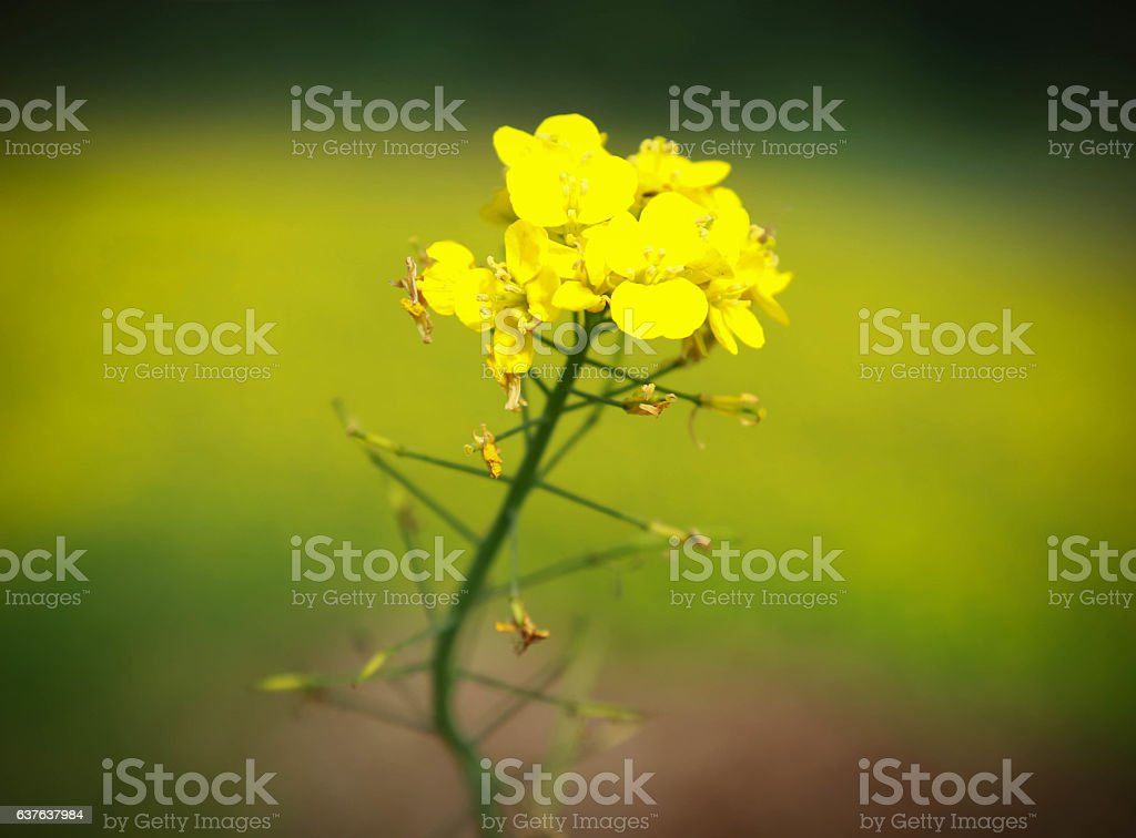 Mustard flowers stock photo