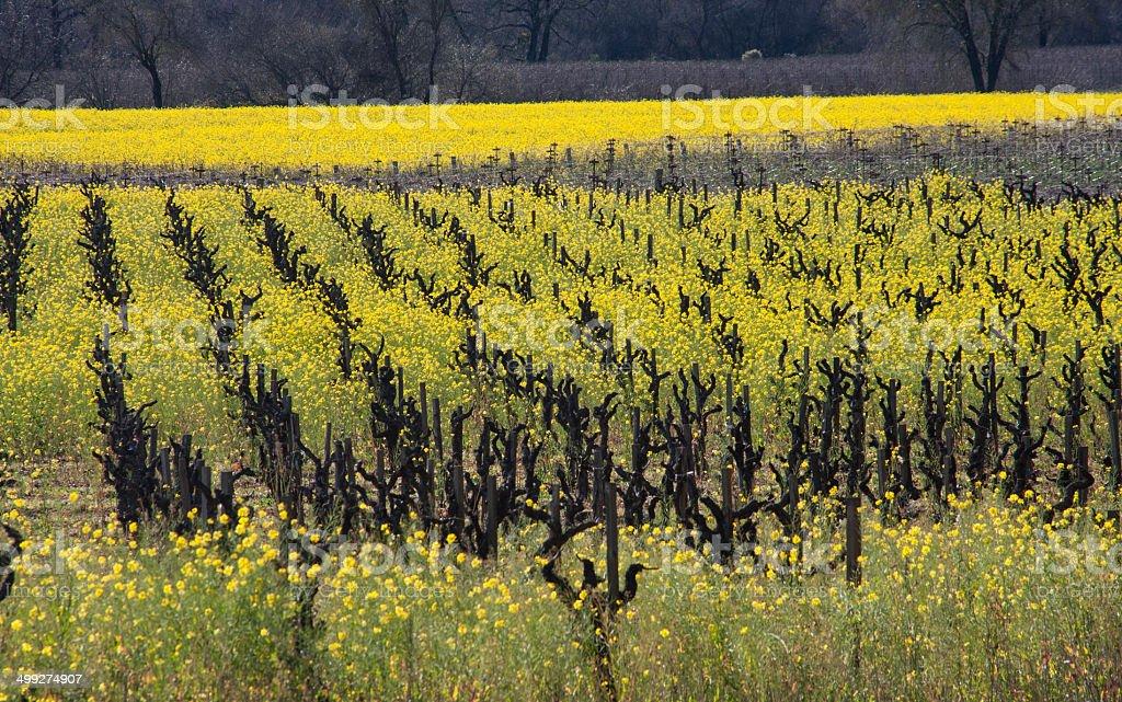 Mustard in Vineyard, Healdsburg, California stock photo