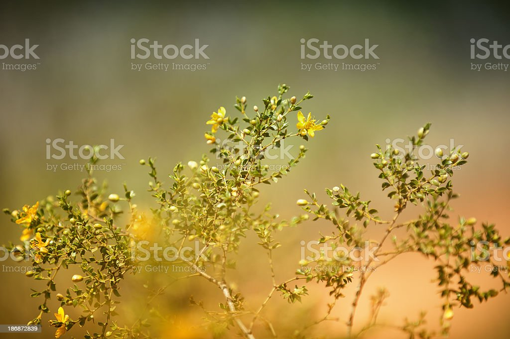 Mustard Plant stock photo