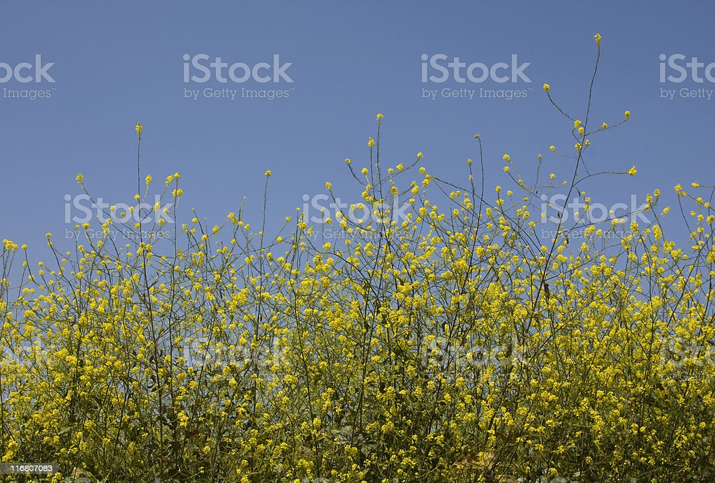 Mustard Plants Against Blue Sky, Synapis Arvensis, Annual-Plant, Yellow Flower royalty-free stock photo