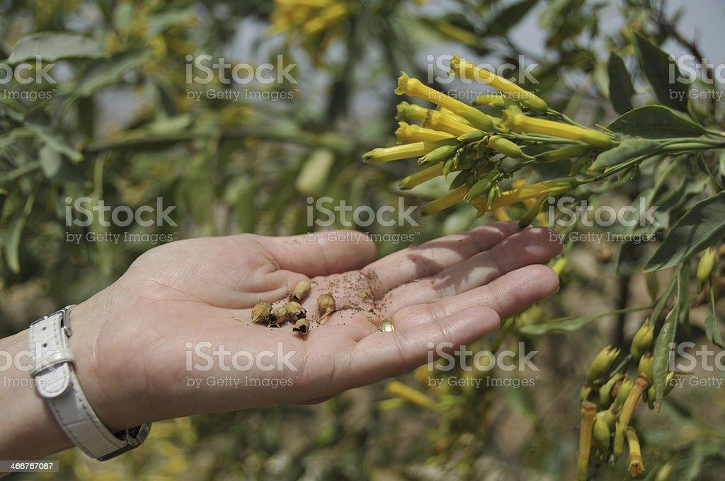 mustard seed, stock photo