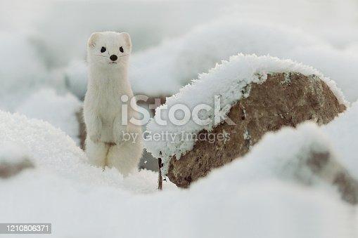 Mustela erminea like a state in winter snow, Weasel. Ermine