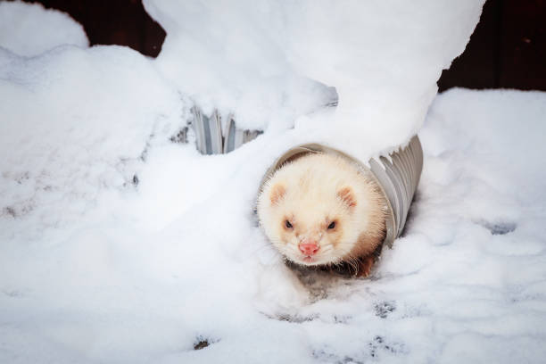 mustela putorius furo, wandern im schnee - frettchen haltung stock-fotos und bilder