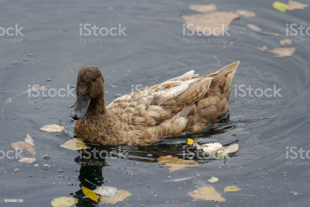 Mutant Suburban Duck Swimming in a Pond stock photo