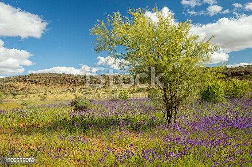 Mutawintji National Park, NSW, Australia, after a long period of rain with tree and flowers.