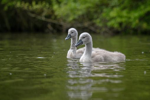 Portrait of a cygnet mute swan in late August