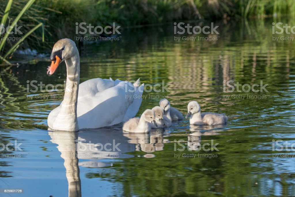 Mute Swan (Cygnus olor) adult and cute fluffy baby cygnets, swimming together on a sunny day stock photo