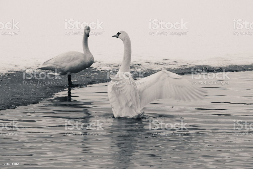 Mute swan and  and whooper swan in pond in winter stock photo