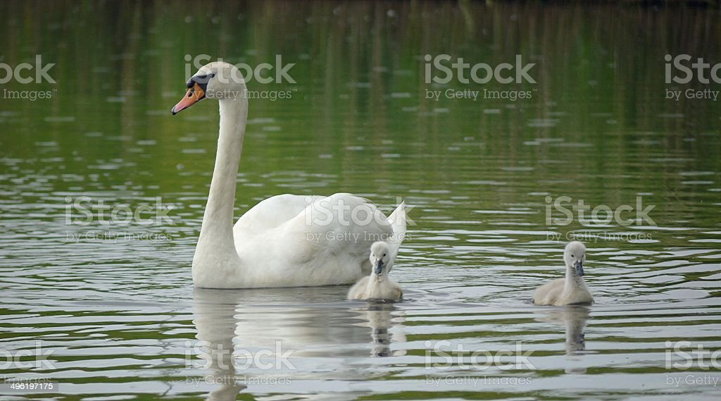 Mute Swan and Cygnets on a lake stock photo