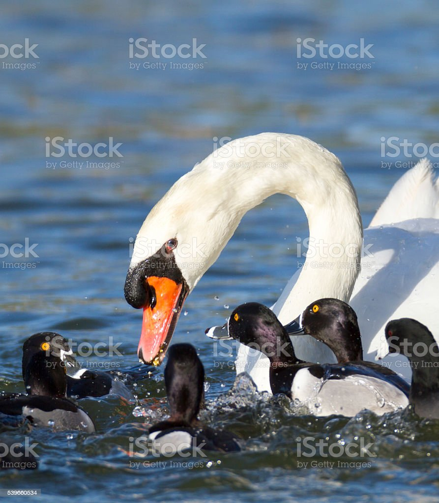 Mute swan and Ring-necked Ducks stock photo