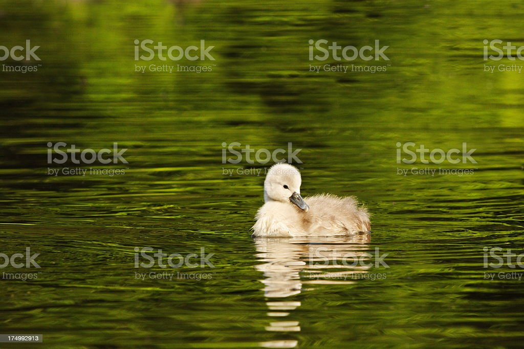 Mute Swan Cygnet Gosling Baby Bird royalty-free stock photo