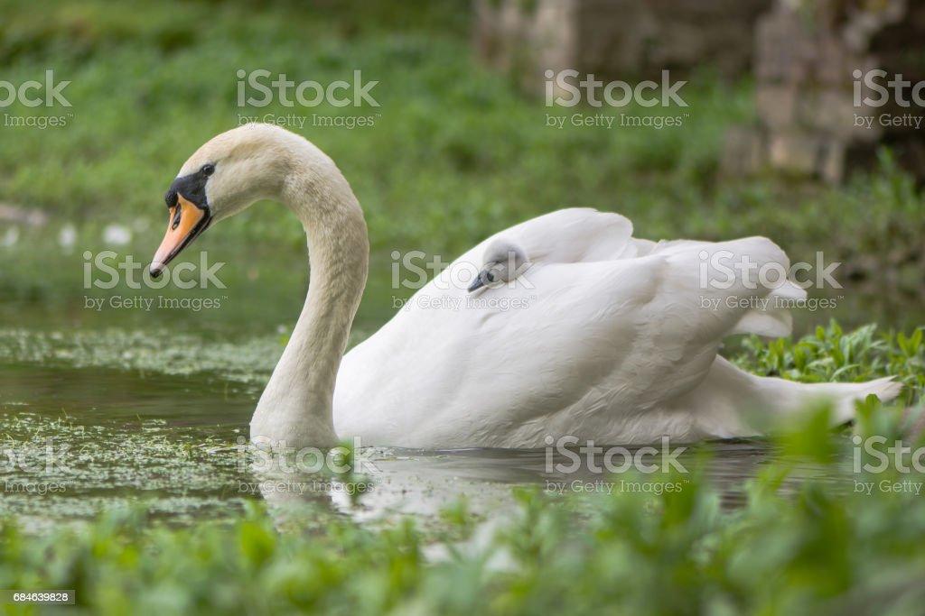 Mute swan (Cygnus olor) cygnet on swimming female stock photo