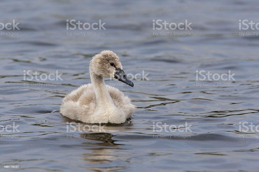 Mute Swan cygnet stock photo