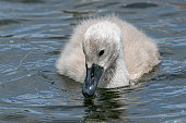 Mute swan cygnets (cygnus olor) searching below the water surface for food