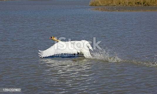 Mute Swan, cygnus olor, Adult in Flight, Taking off from Lake, Camargue in France