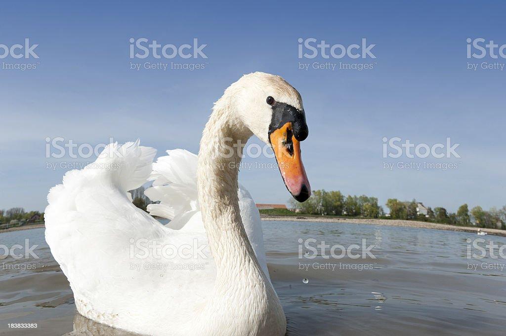 Mute swan Cygnus olor royalty-free stock photo
