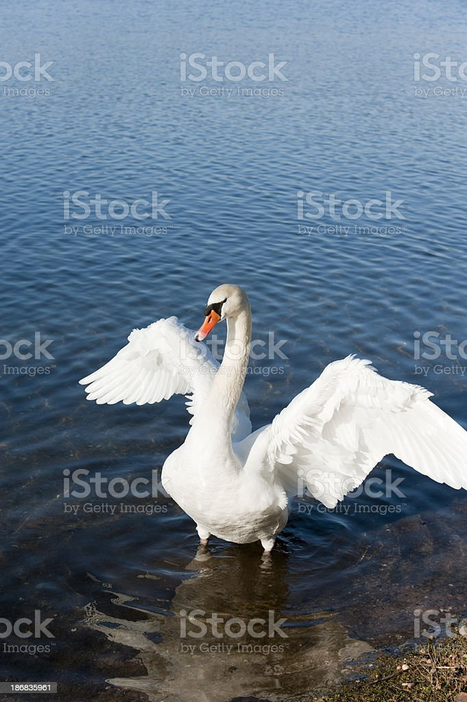mute swan [ Cygnus olor ] royalty-free stock photo