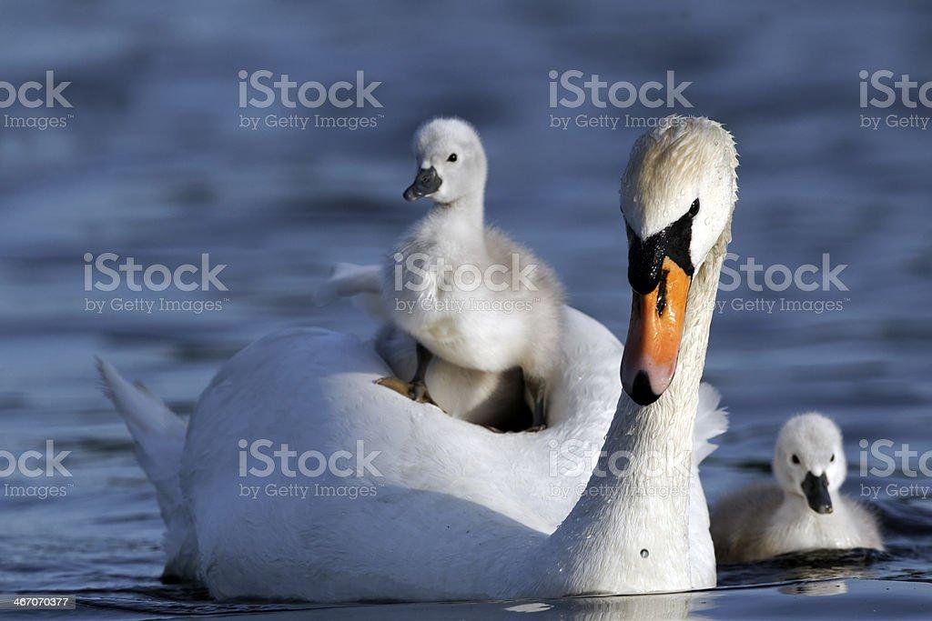 Mute swan, Cygnus olor stock photo