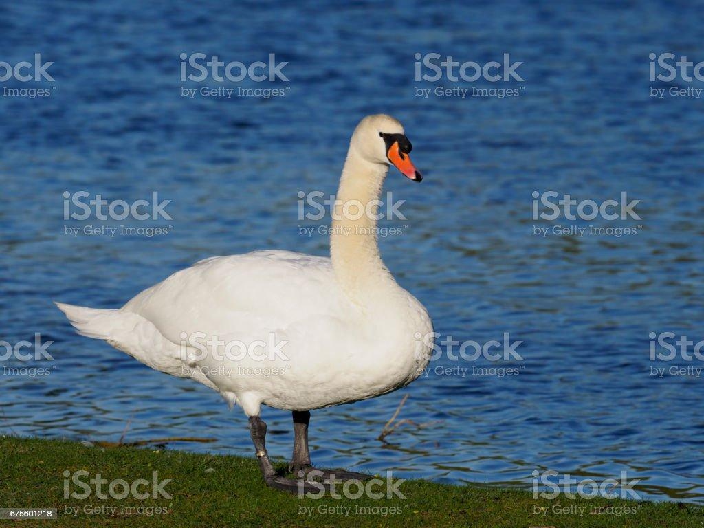 Mute swan, Cygnus olor photo libre de droits