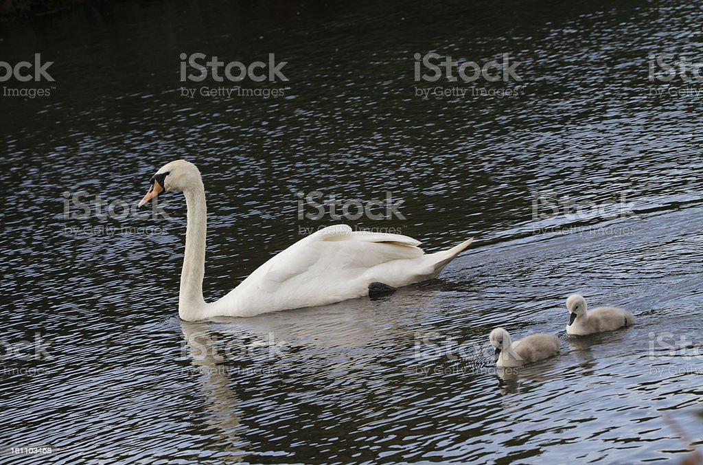 Mute swan Cygnus olor with two cygnets royalty-free stock photo
