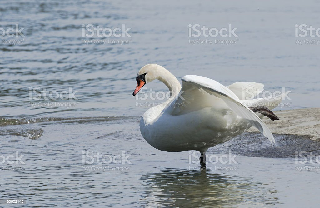 Mute swan dancing on a lake stock photo
