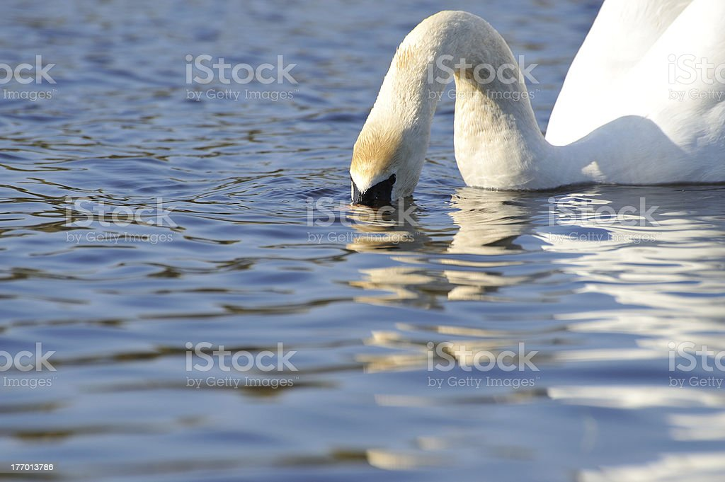 Mute Swan, (Cygnus Olor) drinking royalty-free stock photo