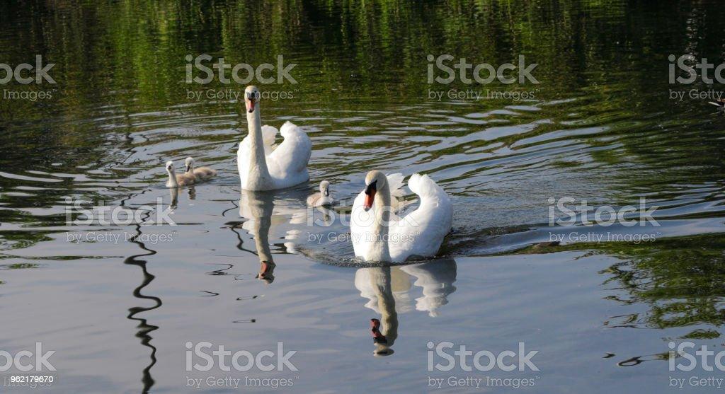 Mute swan family male female three cygnets stock photo