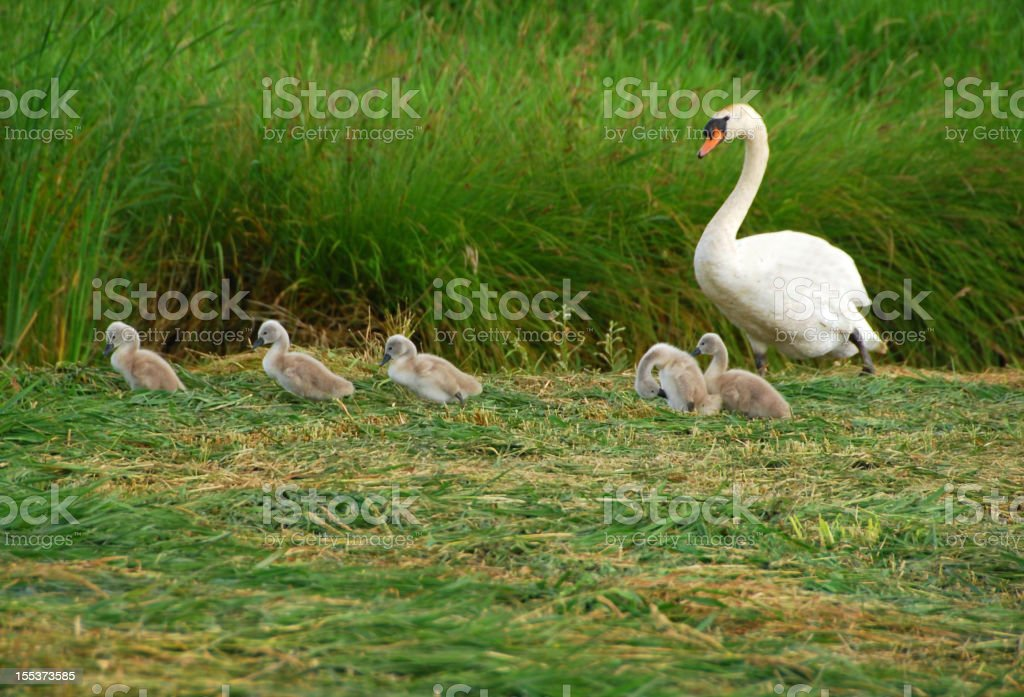 Mute Swan  family royalty-free stock photo