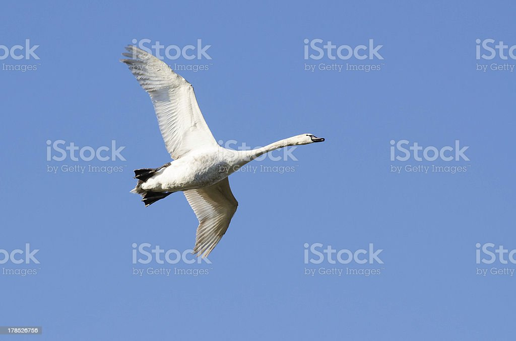 Mute swan (Cygnet) Flying in the winter sun royalty-free stock photo