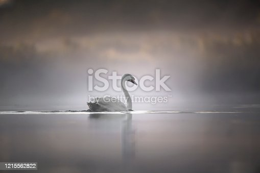 Mute Swan glides on river in summer mist on tranquil waters