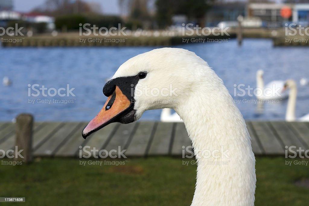 Mute swan head stock photo