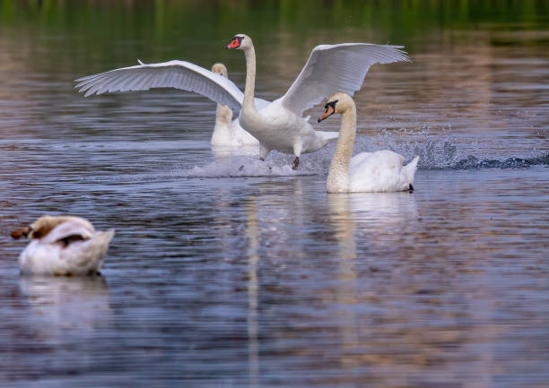 Mute swan in a bird sanctuary in southern Germany stock photo