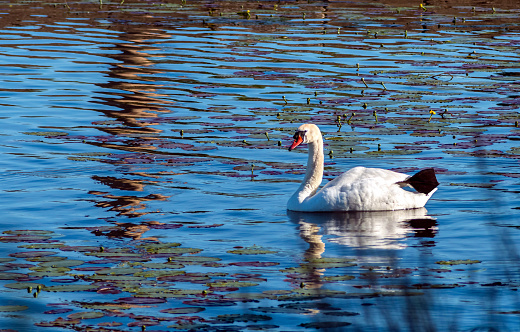 Mute swan (Cygnus olor) in a river, summer in Europe