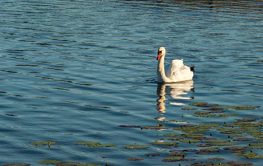 Mute swan (Cygnus olor) in a river, summer in Europe
