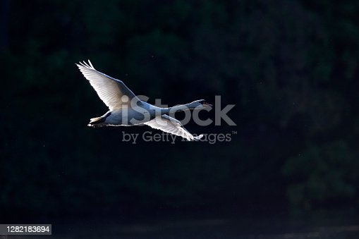 A mute swans flying in front of a dark background