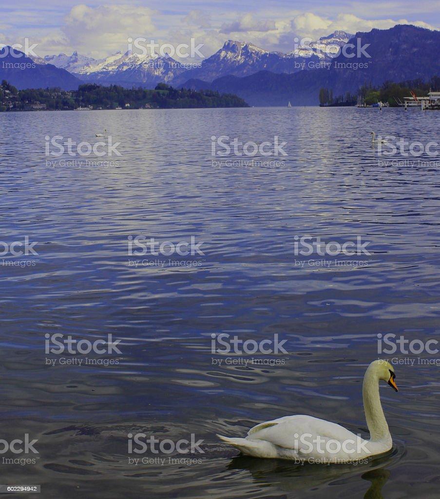 Mute Swan, Lucerne, Switzerland stock photo