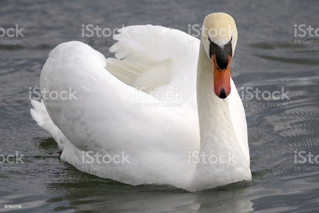 Mute Swan male on water royalty-free stock photo