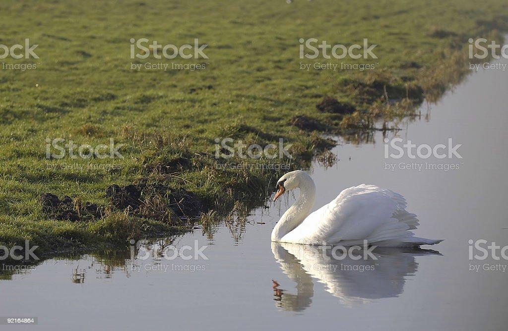 Mute Swan (Cygnus olor) Male royalty-free stock photo