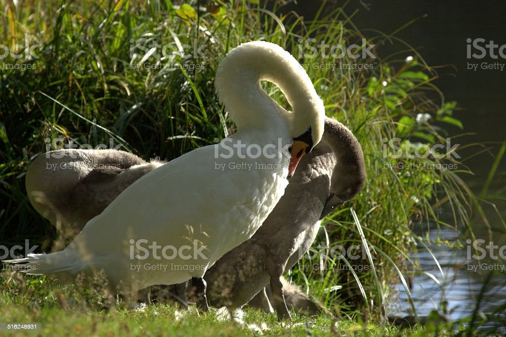 Mute swan mother and its big babies stock photo