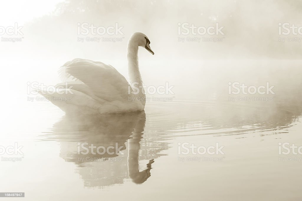 Mute Swan on lake stock photo