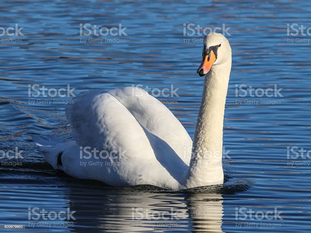 Mute Swan on The Water foto royalty-free