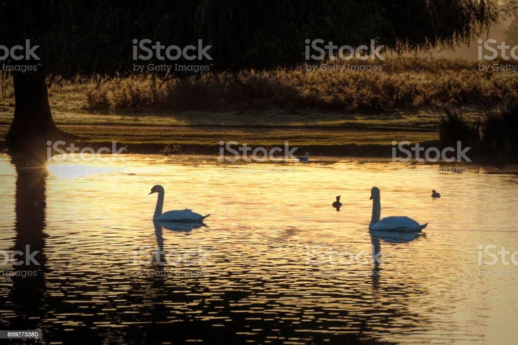 Mute swan pair swimming in liquid gold dawn light stock photo