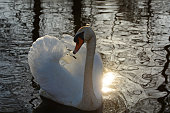 Single swimming mute swan with sun and reflection in a pond.
