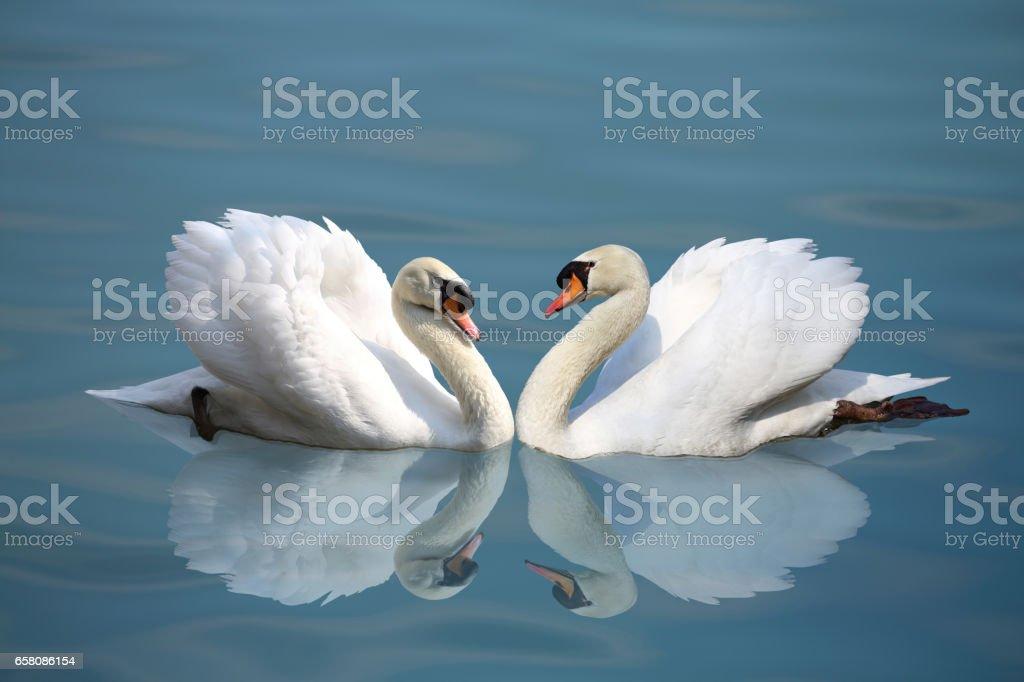 Mute swan royalty-free stock photo