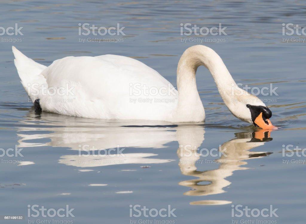 Mute Swan foto stock royalty-free