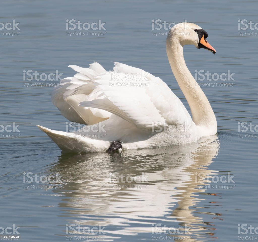 Mute Swan foto stock royalty-free