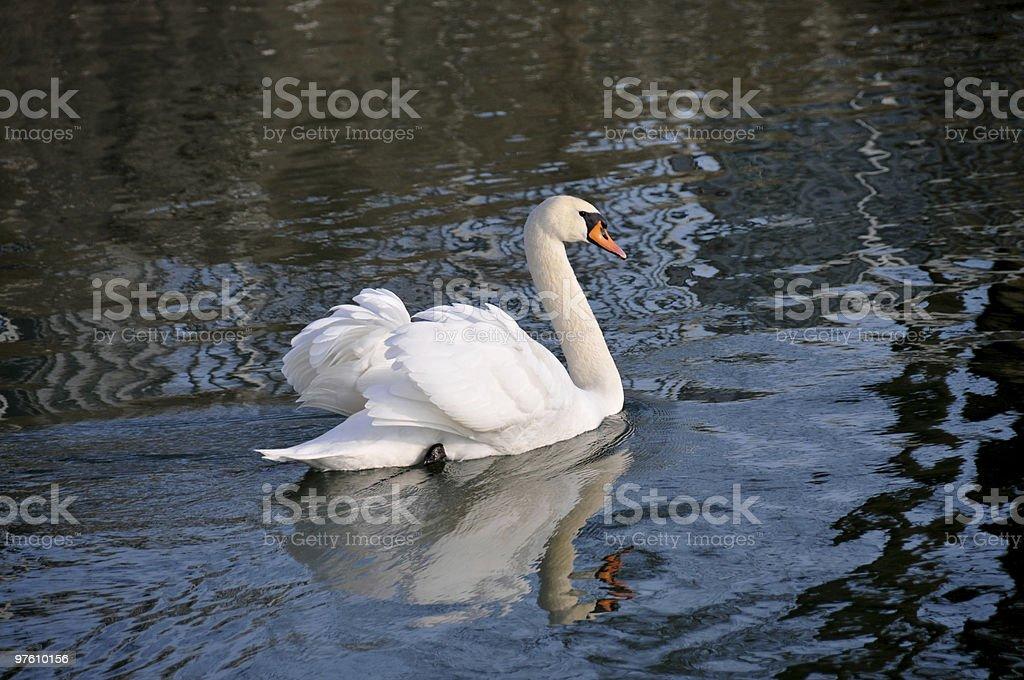 Mute swan royaltyfri bildbanksbilder